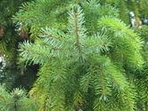 green-pine-tree